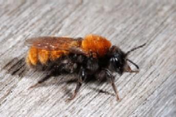 Andrena fulva