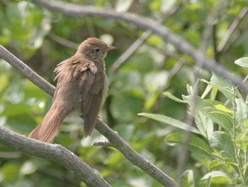 isfugl i profil