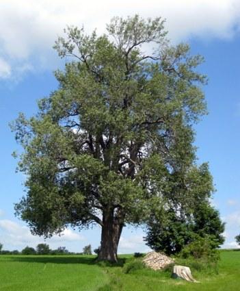 Piletræ ved Haarby