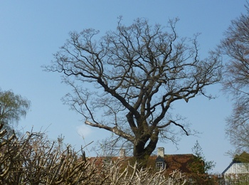 Vejlesøvej, egetræ
