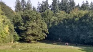 Gammelt egetræ i skoveng ved